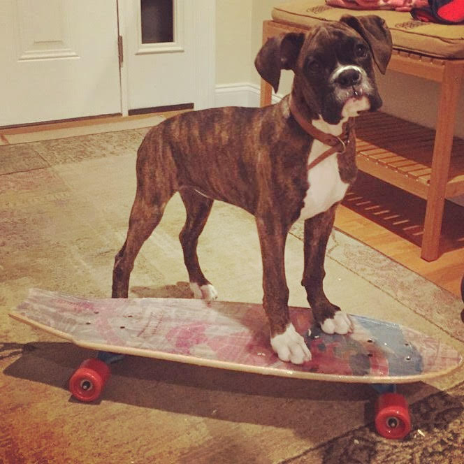 boxer puppy on skateboard