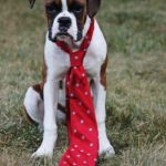boxer working dog
