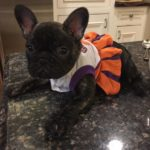 Clemson Frenchie Cheerleader