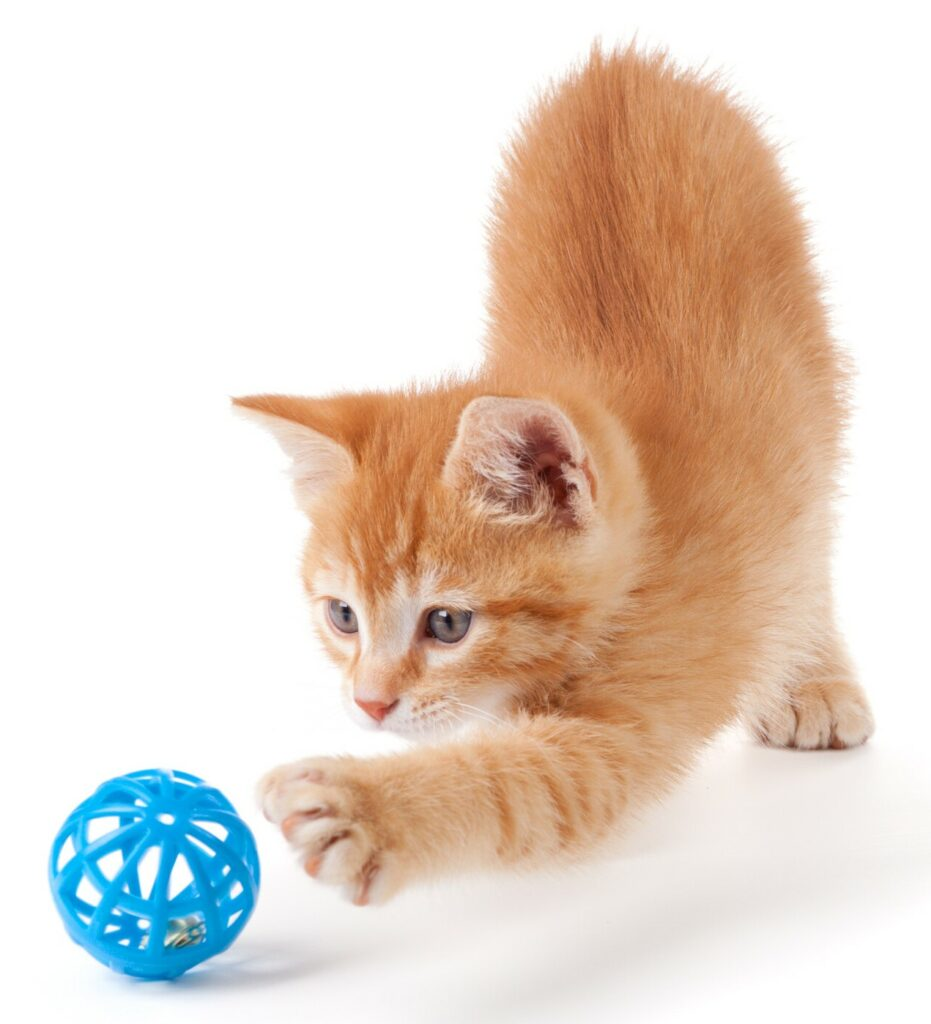 cat playing